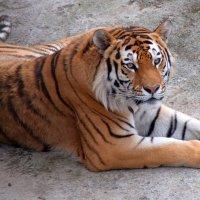 Тигр на отдыхе :: Макс Бушуев