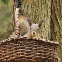Кто унёс мои орехи? :: Boris Antonov