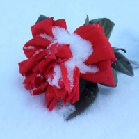 Увядает роза на снегу.... :: Людмила