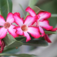 цветы франгипани Индия. :: maikl falkon