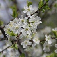 Яблони цветут :: Александр mister.arm
