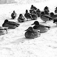 Утки встречаются, утки влюбляются... :: Евгения Каравашкина