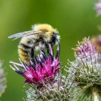 Пчелка и репей :: Олег Мартоник