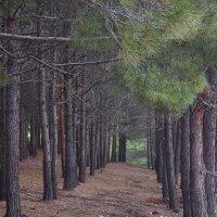 Лес в Батилимане :: Zinaida Belaniuk