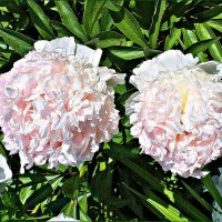 Бело-розовый зефир. :: Валерия Комова