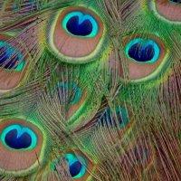 Красота павлиньего хвоста :: Natalia Harries