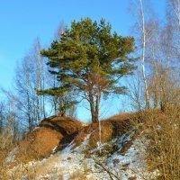 Сосна на вершине :: Милешкин Владимир Алексеевич