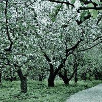 В яблоневом саду :: Светлана Лысенко