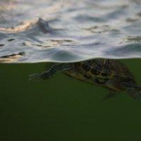 Черепашка в воде :: Артем Бардюжа