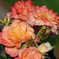 Три розы :: НАТАЛИ natali-t8