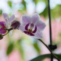 Орхидея :: Владимир Брызгалов