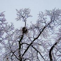 Деревья застеклились :: Михаил Тищенко