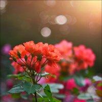 Человек – как куст розы. В каждом есть колючки и цветы. На что будем обращать внимание – с тем и буд :: Алексей Латыш