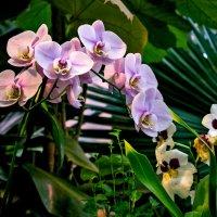Орхидеи :: Ольга Маркова