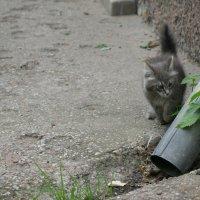 Кот, гуляющий сам по себе... :: Natalisa Sokolets