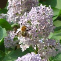 Ненасытная пчёлка :: Михаил Андреев
