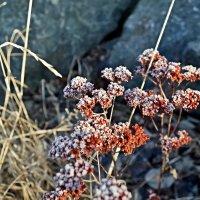 цветы зимы :: юрий иванов