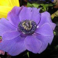 Anemone coronaria /  Ветреница корончатая :: laana laadas