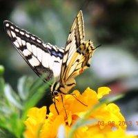 бабочка :: petyxov петухов