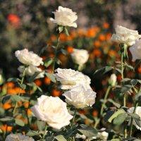 Белые розы :: TATYANA PODYMA