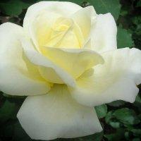 Белая роза во все времена, Символ невинности и Божества :: Galina Dzubina