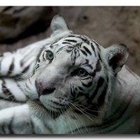 Белая тигра... :: GaL-Lina .