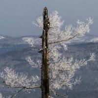 old tree :: Dmitry Ozersky