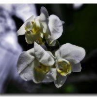 Орхидеи :: GaL-Lina .