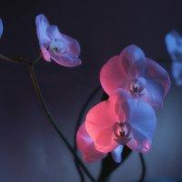 Орхидеи :: Михаил Онипенко