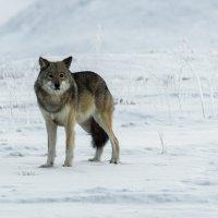 Жил-был волк. :: Юрий Харченко