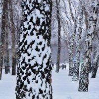 Зимние берёзы :: Александр Садовский