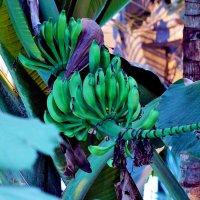 Бананы в Аптекарском :: Nikolay Monahov