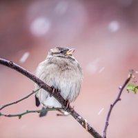 Зимовий горобець :: Павел Гасс