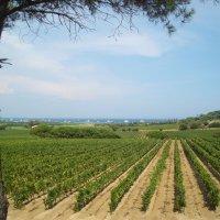 Виноградники в Сен-Тропе :: Евгений Кривошеев
