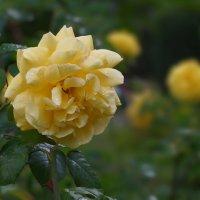 Желтая роза :: Алина