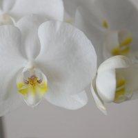 Пять портретов одной орхидеи :: Наталия Григорьева