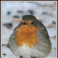 зарянка на снегу! :: Борис E