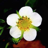 Цветок земляники садовой :: Damir Si