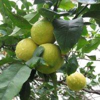 Лимоны :: Герович Лилия