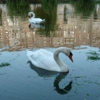 Лебеди белые. :: Чария Зоя