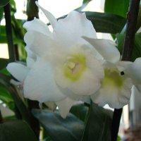 Орхидея :: laana laadas