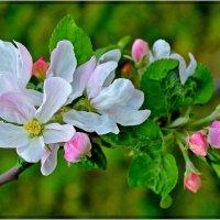 Яблони цвет :: Надежда