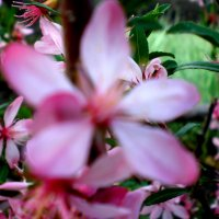 Миндаль цветёт :: Людмила