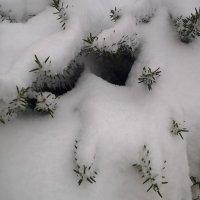 Розмарин в снежном убранстве. :: Жанна Мааита