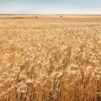 Пшеничная нива :: Александр Никишков