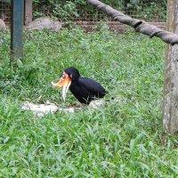 В зоопарке Кота Кинабалу. Малайский гомрай – символ  штата Саравак. :: Елена Павлова (Смолова)