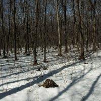 Весенний лес. :: Николай Сидаш