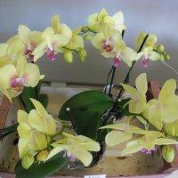 орхидея :: Людмила