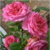 Розы :: Павлова Татьяна Павлова