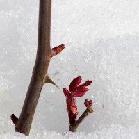 Живой росток розы в снегу :: Marina K